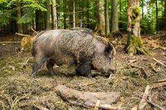 άγρια περιοχές scrofa κάπρων sus Στοκ Εικόνες