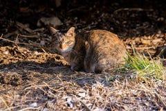 Άγρια περιπλανώμενη γάτα με ένα σοβαρό πρόσωπο σε μια δασική περιοχή στη Σεούλ στοκ εικόνες με δικαίωμα ελεύθερης χρήσης