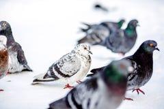 Άγρια περιστέρια το χειμώνα στο χιόνι Στοκ Φωτογραφία