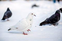 Άγρια περιστέρια το χειμώνα στο χιόνι Στοκ Εικόνες