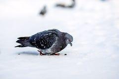 Άγρια περιστέρια το χειμώνα στο χιόνι Στοκ φωτογραφία με δικαίωμα ελεύθερης χρήσης