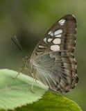 Άγρια πεταλούδα Στοκ Εικόνες