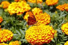 Άγρια πεταλούδα VI Στοκ Εικόνες