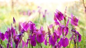 Άγρια πορφυρά λουλούδια ίριδων Στοκ εικόνες με δικαίωμα ελεύθερης χρήσης