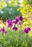 Άγρια πορφυρά λουλούδια ίριδων Στοκ φωτογραφίες με δικαίωμα ελεύθερης χρήσης