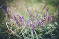 Άγρια πορφυρά λουλούδια που αυξάνονται στην πράσινη και κίτρινη χλόη το φθινόπωρο Στοκ φωτογραφία με δικαίωμα ελεύθερης χρήσης