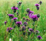 Άγρια πορφυρά λουλούδια στη χλόη Στοκ Εικόνες