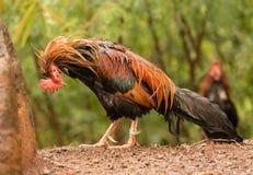 Άγρια πουλερικά Kauai στην ενυδάτωση υγρή μετά από τη θύελλα βροχής στοκ εικόνες