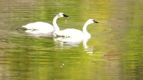 Άγρια πουλιά κύκνων Trumpeter που ζευγαρώνουν τη λίμνη της Αλάσκας φθινοπώρου ζευγαριού απόθεμα βίντεο