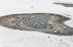 Άγρια πουλιά στον παγωμένο ποταμό Vistula στην Κρακοβία, Πολωνία Στοκ εικόνες με δικαίωμα ελεύθερης χρήσης