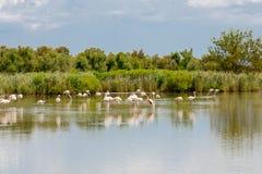 Άγρια πουλιά φλαμίγκο στη λίμνη στη Γαλλία, Camargue, Προβηγκία Στοκ εικόνες με δικαίωμα ελεύθερης χρήσης
