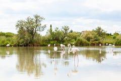 Άγρια πουλιά φλαμίγκο στη λίμνη στη Γαλλία, Camargue, Προβηγκία Στοκ Φωτογραφία