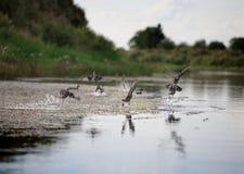 Άγρια πουλιά Στοκ φωτογραφίες με δικαίωμα ελεύθερης χρήσης