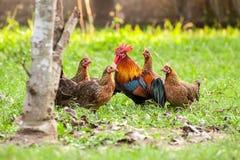 Άγρια πτηνά, κοτόπουλο στη ζούγκλα Στοκ φωτογραφία με δικαίωμα ελεύθερης χρήσης