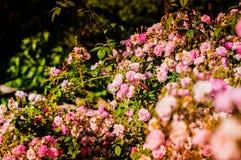 Άγρια ρόδινα τριαντάφυλλα στον κήπο του χωριού σπιτιών Στοκ Εικόνες