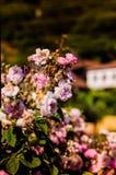 Άγρια ρόδινα τριαντάφυλλα στον κήπο του χωριού σπιτιών Στοκ Φωτογραφία