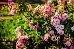 Άγρια ρόδινα τριαντάφυλλα στον κήπο του χωριού σπιτιών Στοκ φωτογραφίες με δικαίωμα ελεύθερης χρήσης