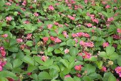Άγρια ρόδινη ανθίζοντας φράουλα σε έναν κήπο Στοκ εικόνες με δικαίωμα ελεύθερης χρήσης