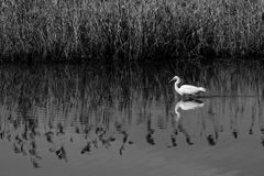 Άγρια σίτιση πουλιών σε έναν ποταμό Στοκ Εικόνα