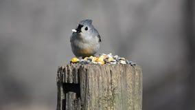 Άγρια σίτιση πουλιών απόθεμα βίντεο