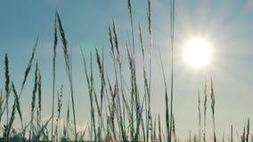 Άγρια σκιαγραφία χλόης ενάντια στο χρυσό ουρανό ώρας κατά τη διάρκεια του ηλιοβασιλέματος φιλμ μικρού μήκους
