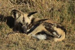 Άγρια σκυλιά Στοκ εικόνα με δικαίωμα ελεύθερης χρήσης