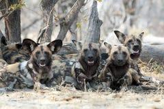 Άγρια σκυλιά Στοκ Εικόνες