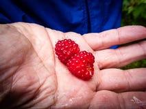 Άγρια σμέουρα στο ανοικτό χέρι Στοκ φωτογραφία με δικαίωμα ελεύθερης χρήσης