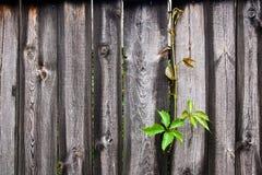 Άγρια σταφύλια φυλλώματος στο εκλεκτής ποιότητας ξύλινο υπόβαθρο με το διάστημα αντιγράφων Στοκ εικόνες με δικαίωμα ελεύθερης χρήσης
