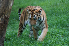 Άγρια τίγρη σε έναν τομέα Στοκ φωτογραφίες με δικαίωμα ελεύθερης χρήσης