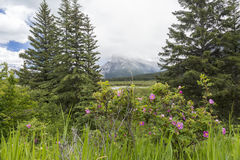 Άγρια τριαντάφυλλα και τα δύσκολα βουνά - Banff NP, Καναδάς Στοκ Εικόνες
