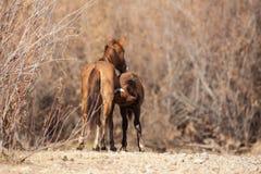 Άγρια φοράδα και Foal αλόγων Στοκ Φωτογραφίες