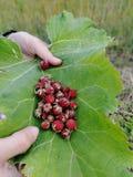 Άγρια φράουλα σε ένα φύλλο burdock στοκ φωτογραφίες
