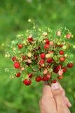 Άγρια φράουλα Στοκ Φωτογραφίες