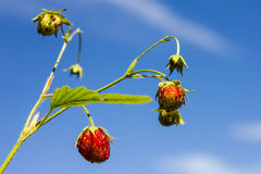 Άγρια φράουλα Στοκ Φωτογραφία