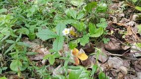 Άγρια φράουλα λουλουδιών Στοκ εικόνα με δικαίωμα ελεύθερης χρήσης