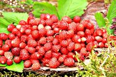 Άγρια φράουλα στο φλοιό πεύκων Στοκ Εικόνα