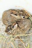 Άγρια φωλιά κουνελιών Στοκ εικόνες με δικαίωμα ελεύθερης χρήσης