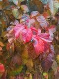 Άγρια φύλλα σταφυλιών το φθινόπωρο Στοκ εικόνα με δικαίωμα ελεύθερης χρήσης