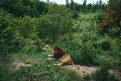 Άγρια φύση, ζώα, υπόλοιπο λιονταριών στη χλόη στο ζωολογικό κήπο Στοκ Εικόνα