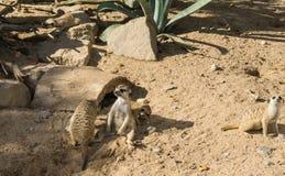 Άγρια φύση θηλαστικών Meercat meerkat που φαίνεται ζώα Στοκ Εικόνες