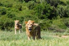 Άγρια φύση λιονταριών επικίνδυνη Στοκ εικόνα με δικαίωμα ελεύθερης χρήσης