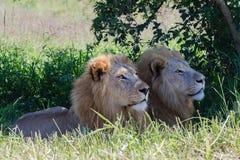Άγρια φύση λιονταριών Στοκ Εικόνες
