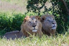Άγρια φύση λιονταριών Στοκ φωτογραφία με δικαίωμα ελεύθερης χρήσης