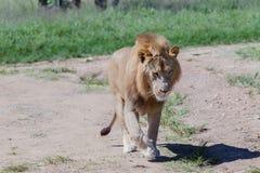 Άγρια φύση λιονταριών Στοκ εικόνα με δικαίωμα ελεύθερης χρήσης