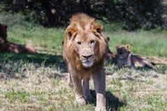 Άγρια φύση λιονταριών Στοκ εικόνες με δικαίωμα ελεύθερης χρήσης