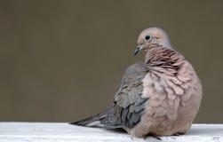 Άγρια φύση και φύση πουλιών περιστεριών πένθους Στοκ Φωτογραφία