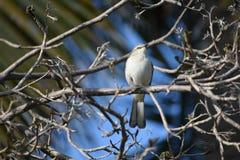 άγρια φύση, μικρό γκρίζο πουλί, Varadero, Κούβα στοκ εικόνες