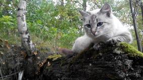 Άγρια φύση μπλε ματιών γατών Στοκ Εικόνες