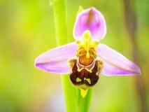 Άγρια φύση ορχιδεών μελισσών Στοκ Εικόνες